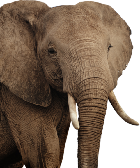 Elephant Png Transparent Background Image For Free Download 8 Png 5439 Free Png Images Starpng You can download free elephant png images with transparent backgrounds from the largest collection on pngtree. elephant png transparent background