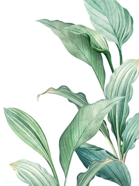 Tropical Leaves Transparent Png Png 1413 Free Png Images Starpng Leaf pngs on this page are free of charge. tropical leaves transparent png png